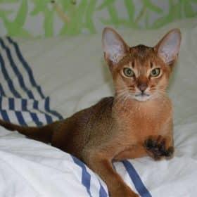 Chaton Abyssin : 4  mâles – femelle 0 98491