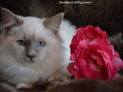 Chaton Chat sacré de Birmanie : 0  mâle – 3  femelles 98067