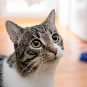 reproduction pubert et chaleur chez le chat wikichat. Black Bedroom Furniture Sets. Home Design Ideas