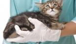 La castration du chaton