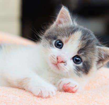 Nourriture pour chaton : L'alimentation du chaton de 4 à 12 mois