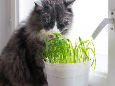L'herbe à chat : quels sont ses effets ?