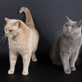 DES CLARENCE CAT S