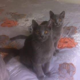Chaton Chartreux : 2  mâles – femelle 0 98559