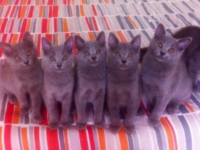 Chaton Chartreux : 5  mâles – femelle 1 98559