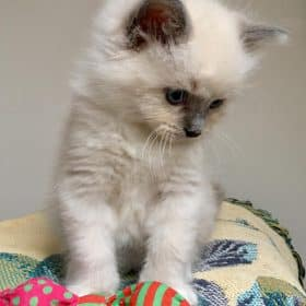 Mâle Blue Point Mitted -disponible