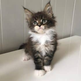 chaton maine coon brown tabby