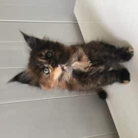 chaton maine coon black tortie
