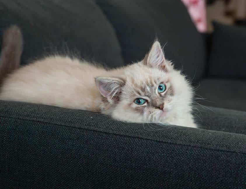 Interview : l'adoption d'un chaton chez un éleveur
