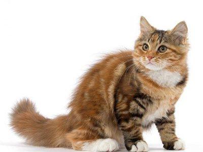L'espérance de vie du chat