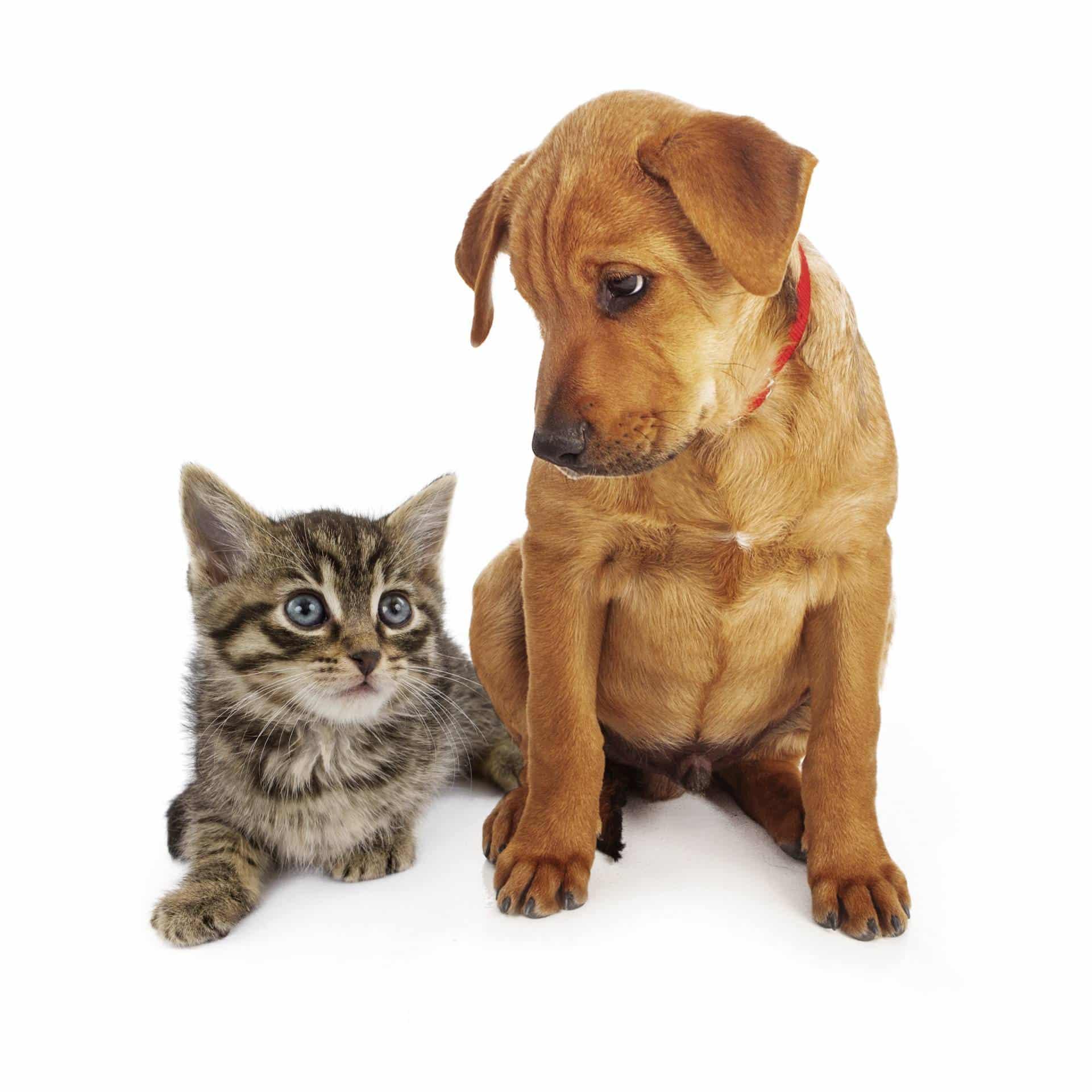 https://www.wikichat.fr/wp-content/uploads/sites/2/la-presentation-aux-autres-animaux-de-la-maison-2.jpg