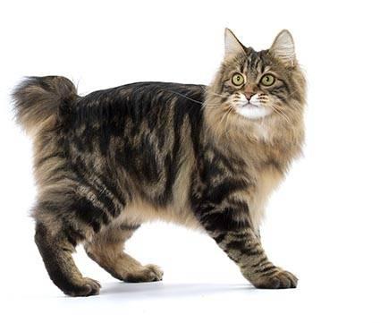 La puberté du chaton mâle