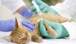 La vaccination du chaton