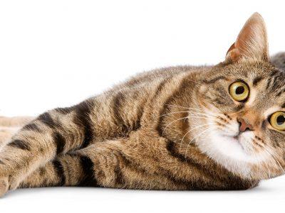 La préhistoire du chat