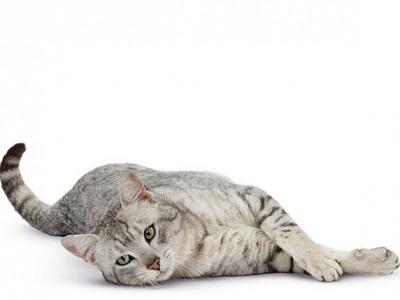Le chat et la toxoplasmose