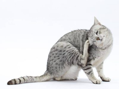 Le chat et les puces