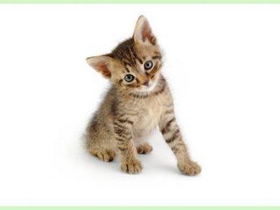 Le sevrage des chatons