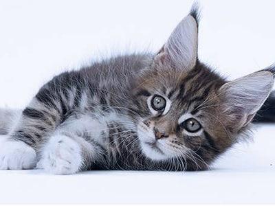 Nourrir le chaton sans danger