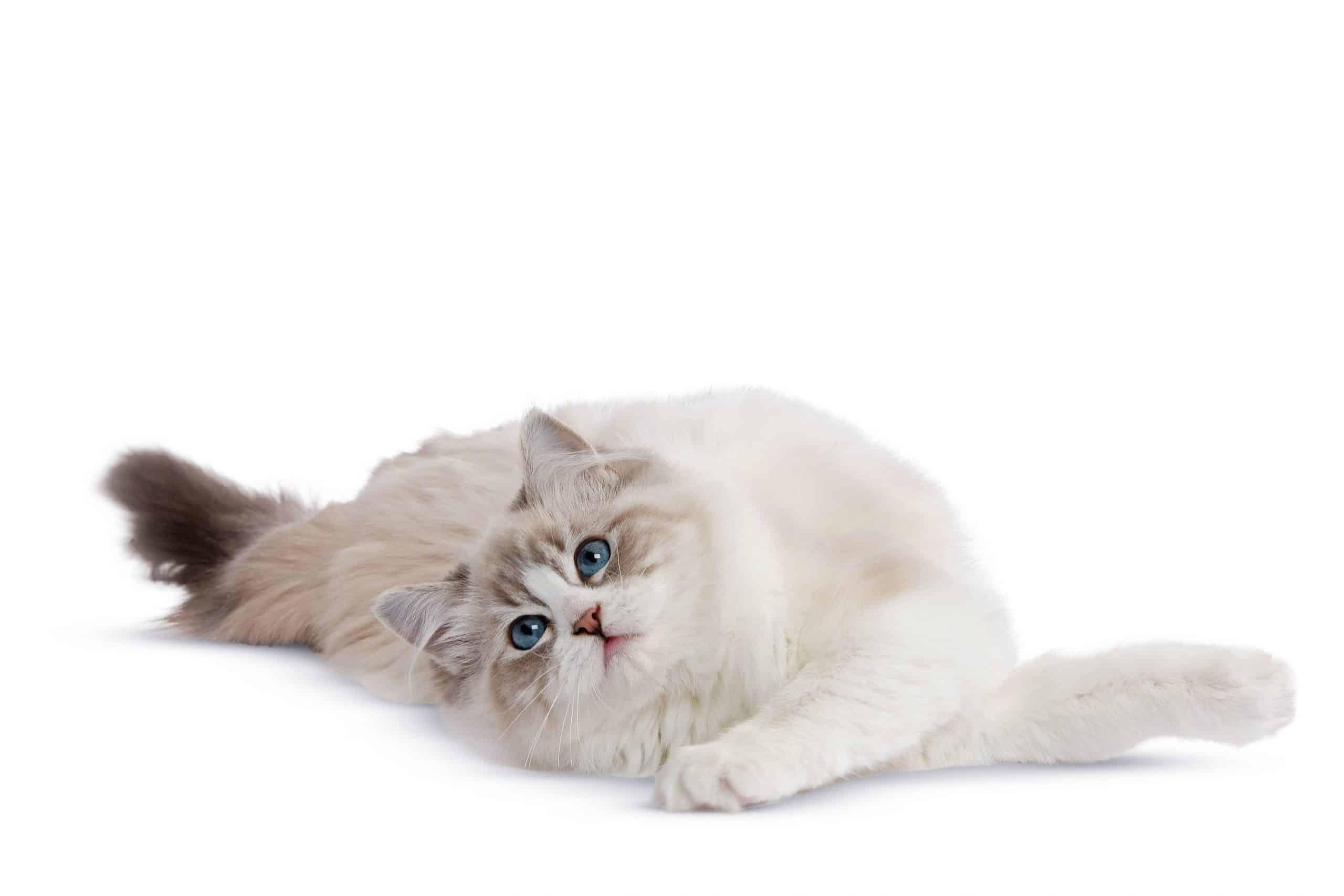 Les chaleurs de la chatte