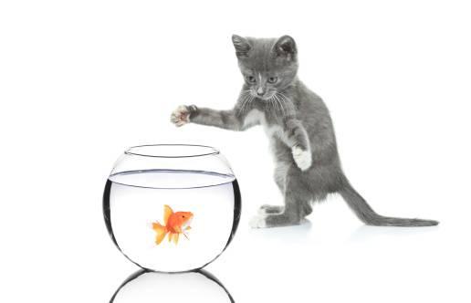 https://www.wikichat.fr/wp-content/uploads/sites/2/les-differents-types-de-jeux-pratiques-par-le-chaton-2.jpg