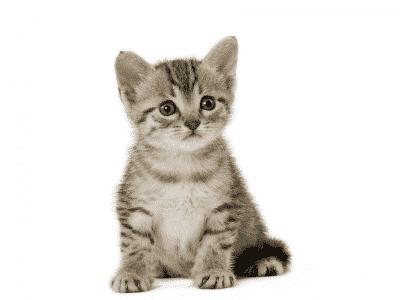Nourrir un chaton de 4 à 12 mois