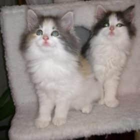 Chaton Chat des forets Norvegiennes : 2  mâles – 3  femelles 97907