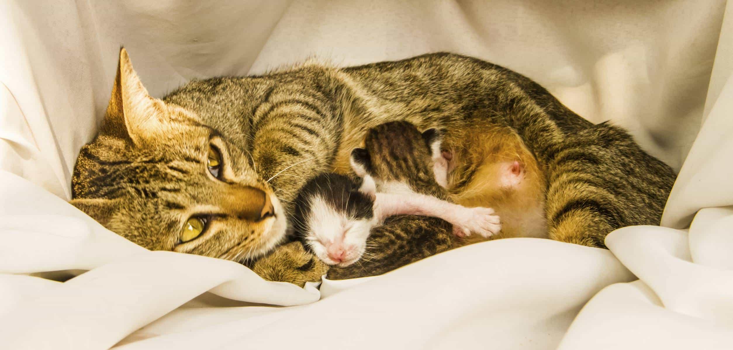 Mise-bas et naissance des chatons