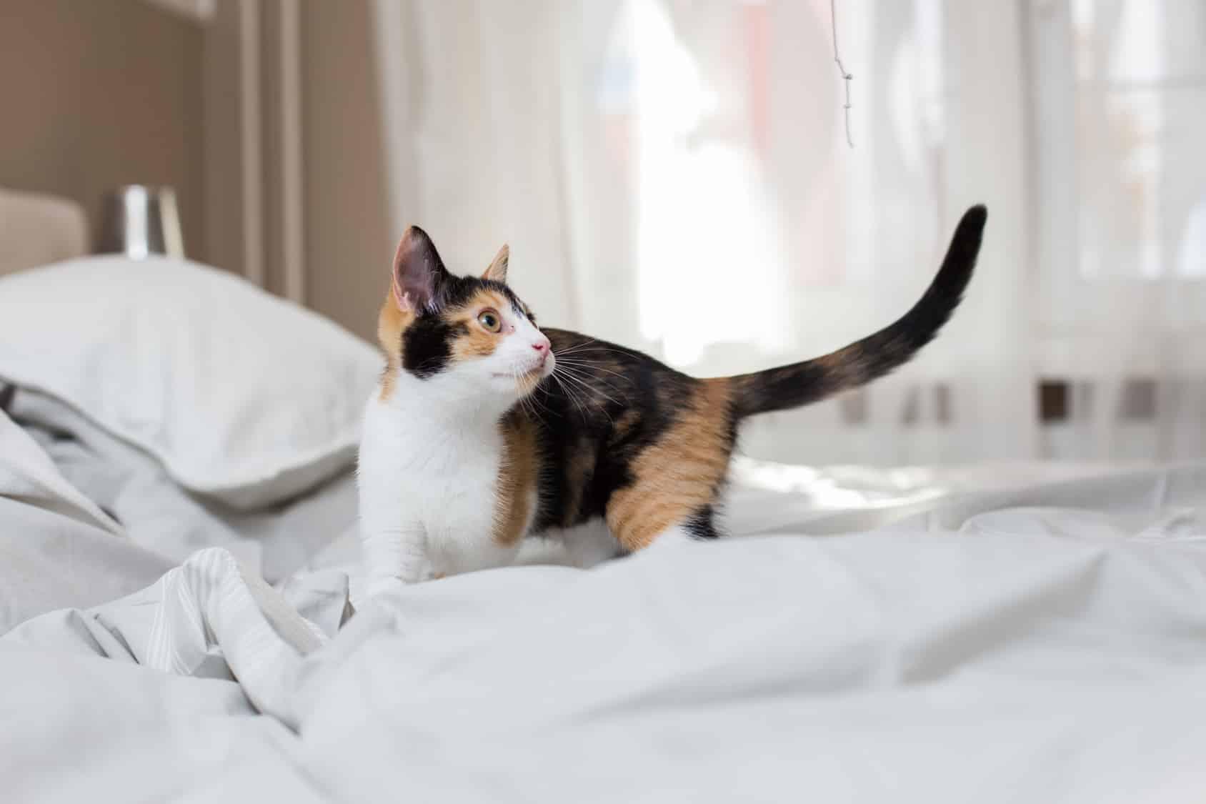 Mon chat fait des b tises comment lui apprendre les bonnes mani res wikichat - Mon chaton fait pipi sur mon lit ...