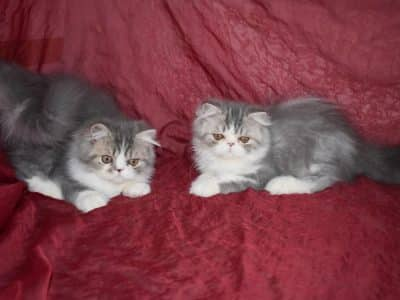 Chaton Persan : 3  mâles – femelles 2 98193