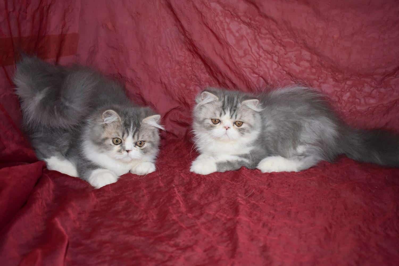 Chaton Persan : 3  mâles - femelles 2 98193