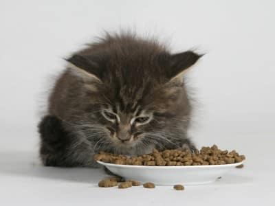 Appétit et odorat du chat