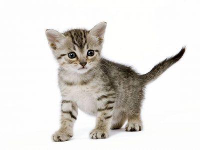 Où trouver un éleveur de chats ?