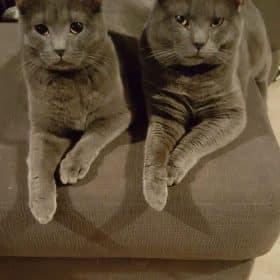Chaton Chartreux : 2  mâles – femelle 1 98547
