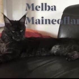 Chaton Maine coon : 8  mâles – femelle 0 98907