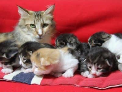 Chaton Chat des forets Norvegiennes : 1  mâle – femelles 5 98552
