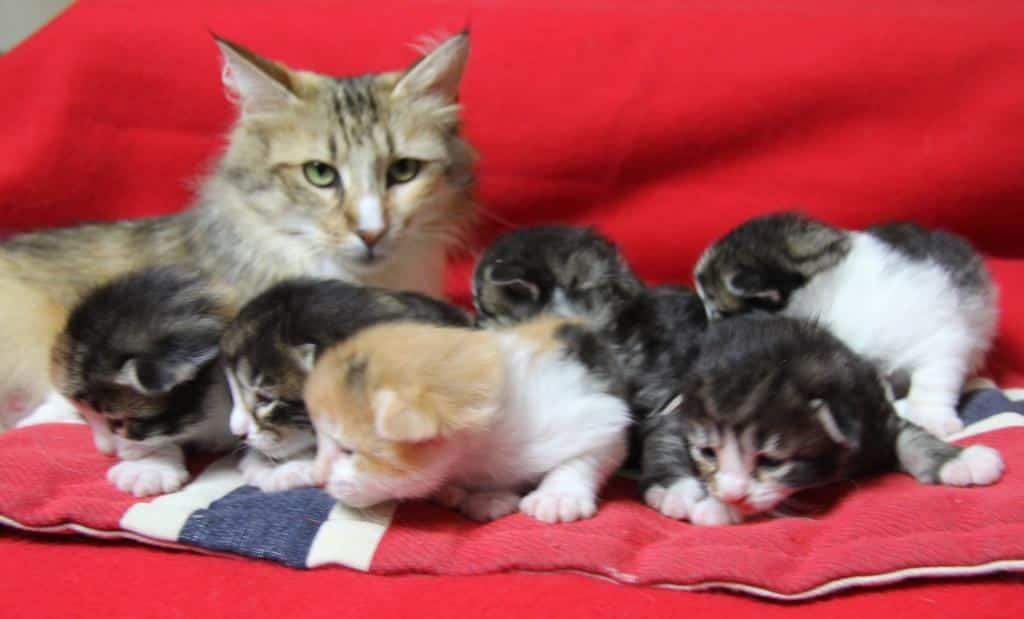 Chaton Chat des forets Norvegiennes : 1  mâle - femelles 5 98552