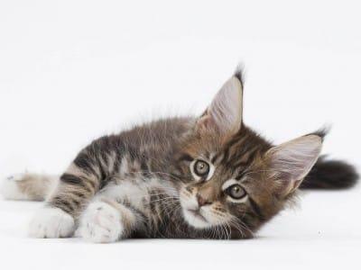 Le pré-sevrage du chaton