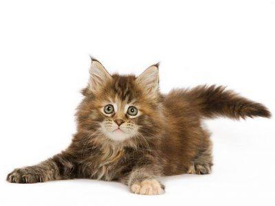 Prendre la température d'un chat