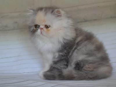 Chaton Persan : 0  mâle – 1  femelle 98171