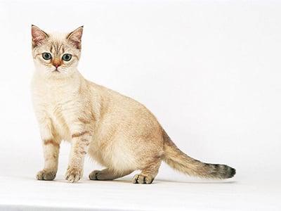 La puberté chez la chatte