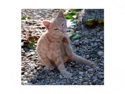 Que faire si mon chaton a des Puces ou des tiques ?