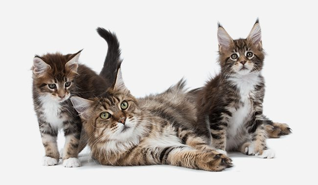 Chat Maine Coon  Chat et Chaton, Fiche de race du chat