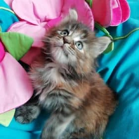 Pétunia des Fab' Plessy Cats ( 6 semaines)