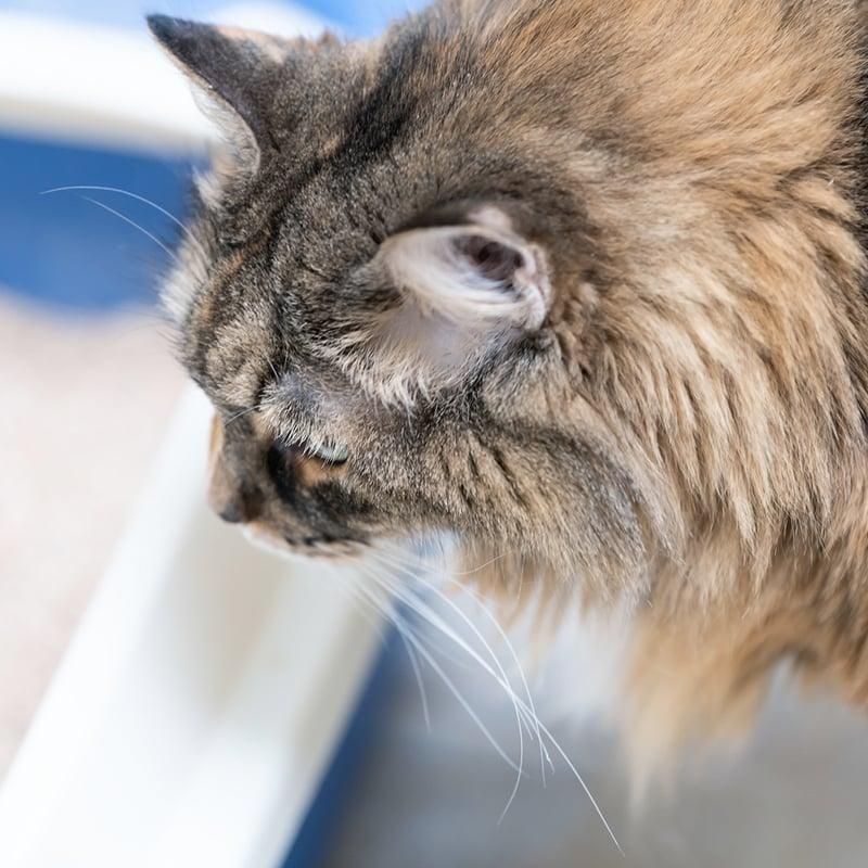 Présence de sang dans les urines du chat