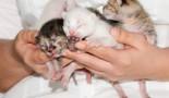 Tout sur la période néonatale du chaton