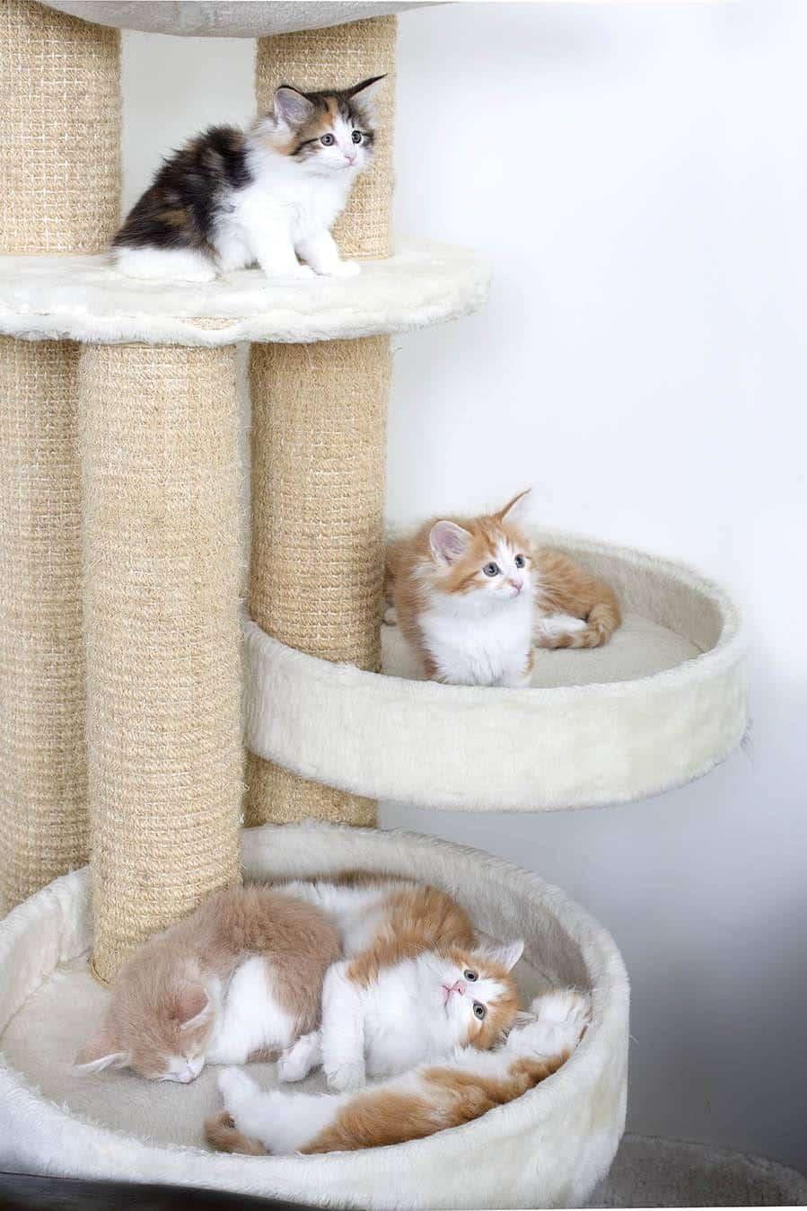 https://www.wikichat.fr/wp-content/uploads/sites/2/un-arbre-a-chat-gadget-ou-necessite-pour-mon-chaton-1-2.jpg