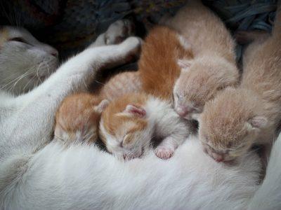 Une chatte allaitante a des convulsions