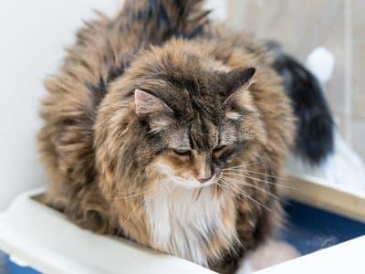 Un chat qui urine fréquemment ou partout peut souffrir de troubles urinaires