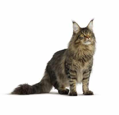 Votre chat a déjà eu ou souffre actuellement de troubles urinaires