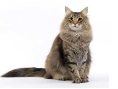 Votre chat n'a jamais eu de troubles urinaires mais il peut être à risque